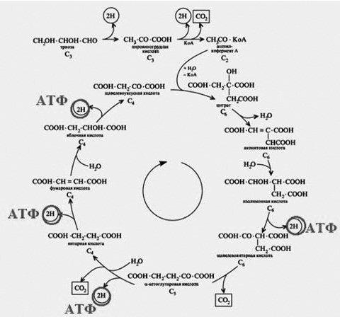 Биохимические циклы