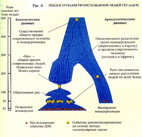 Реконструкция происхождения людей по мтДНК